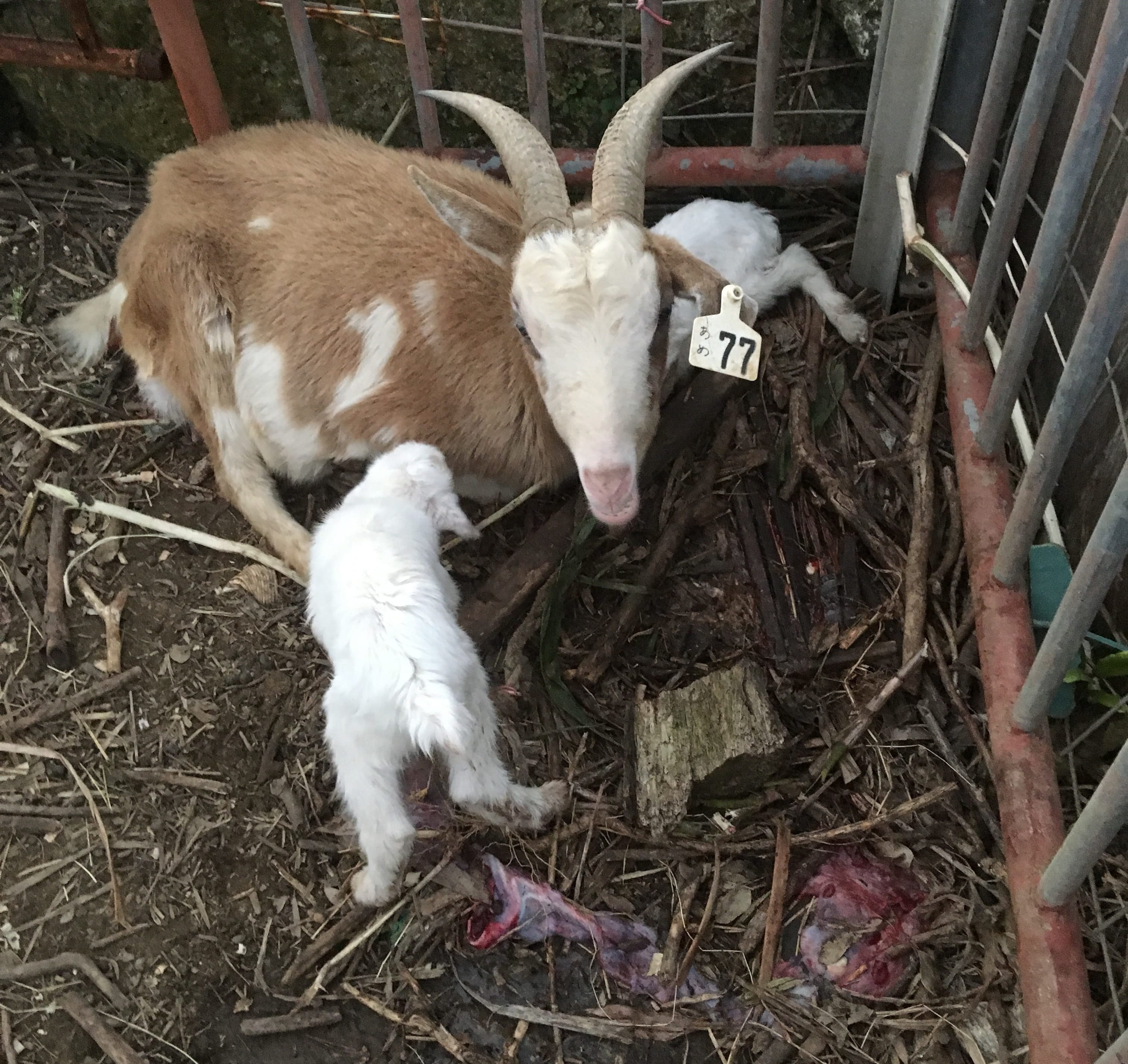 出産後の山羊