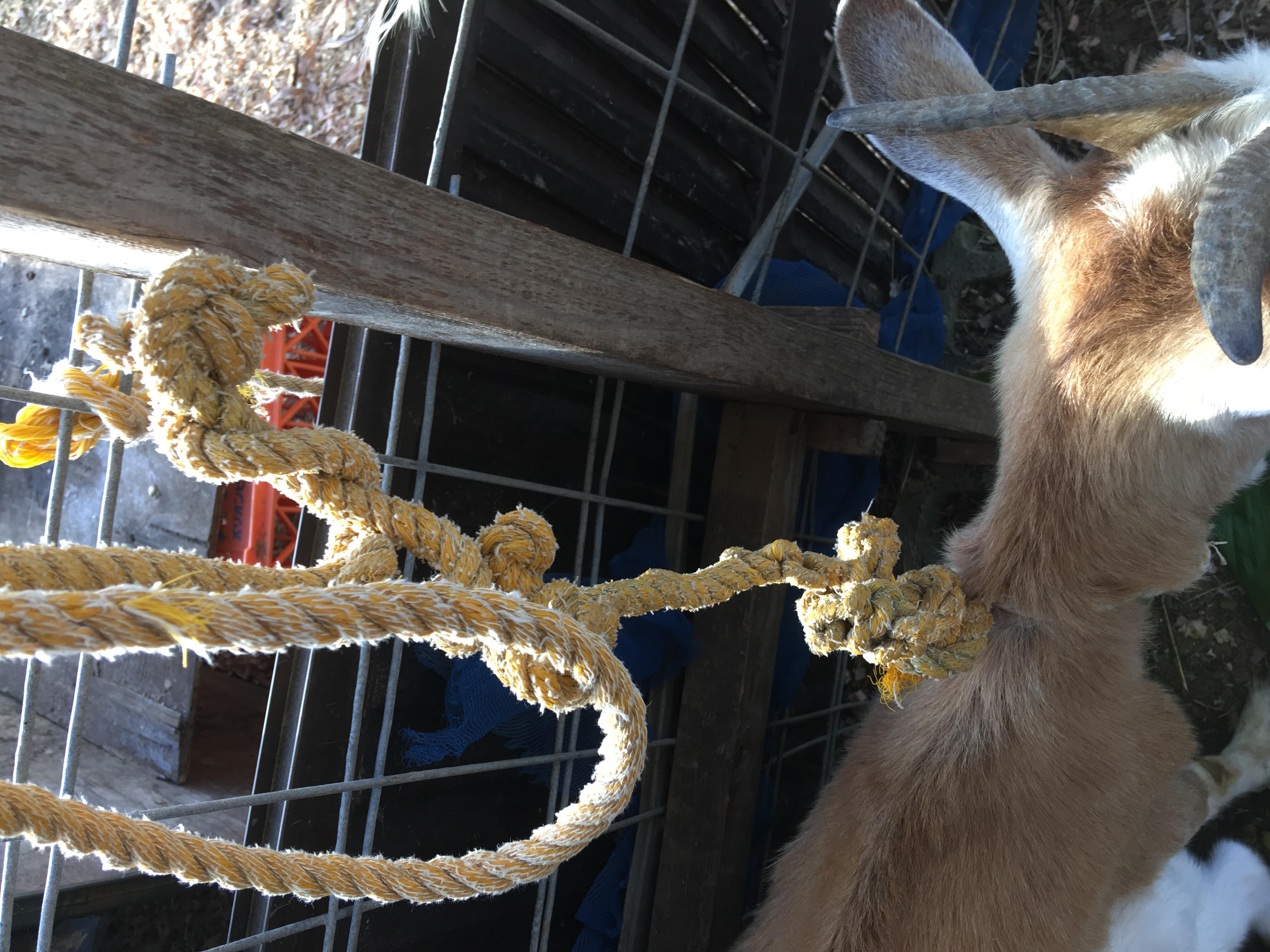 ヤギのロープ事故