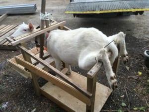 ヤギと保定台