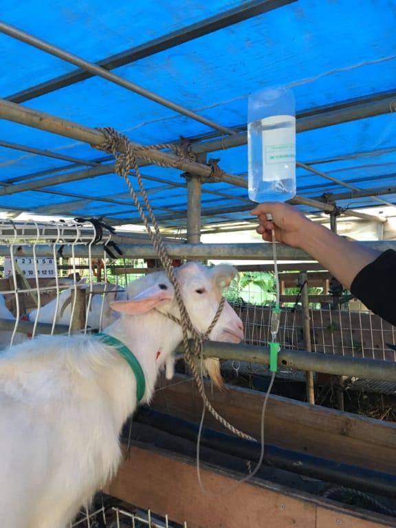 山羊へ静脈輸液