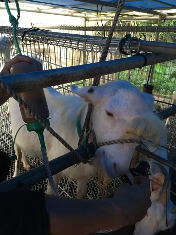 ヤギに胃腸のお薬の注射および経口投与