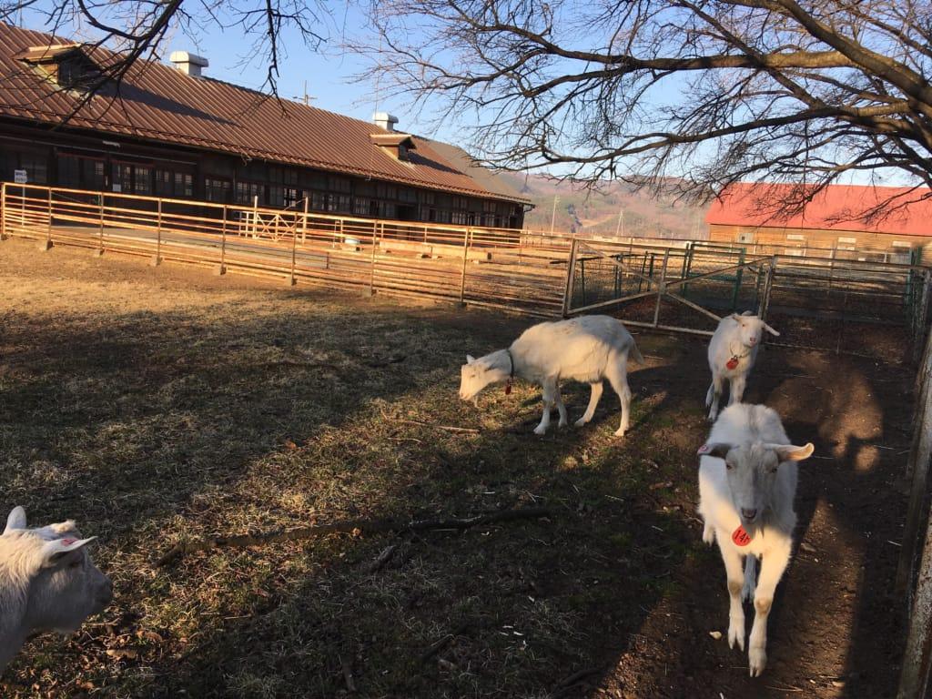 ふれあい牧場の山羊たち
