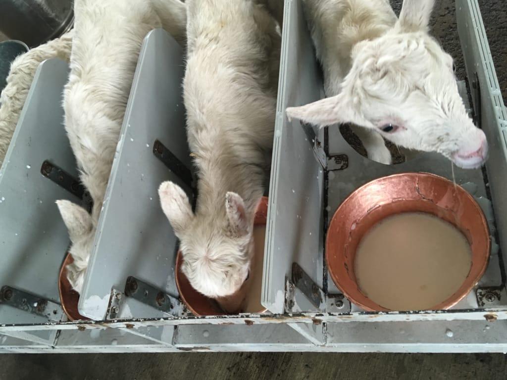 カップでミルクを飲む子山羊