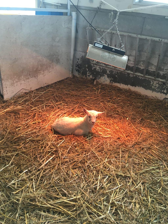 広い山羊舎にひとりぼっちの子山羊。低体温にならないのか