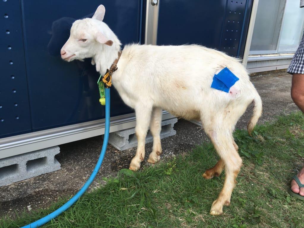 犬による咬傷のヤギ経過観察