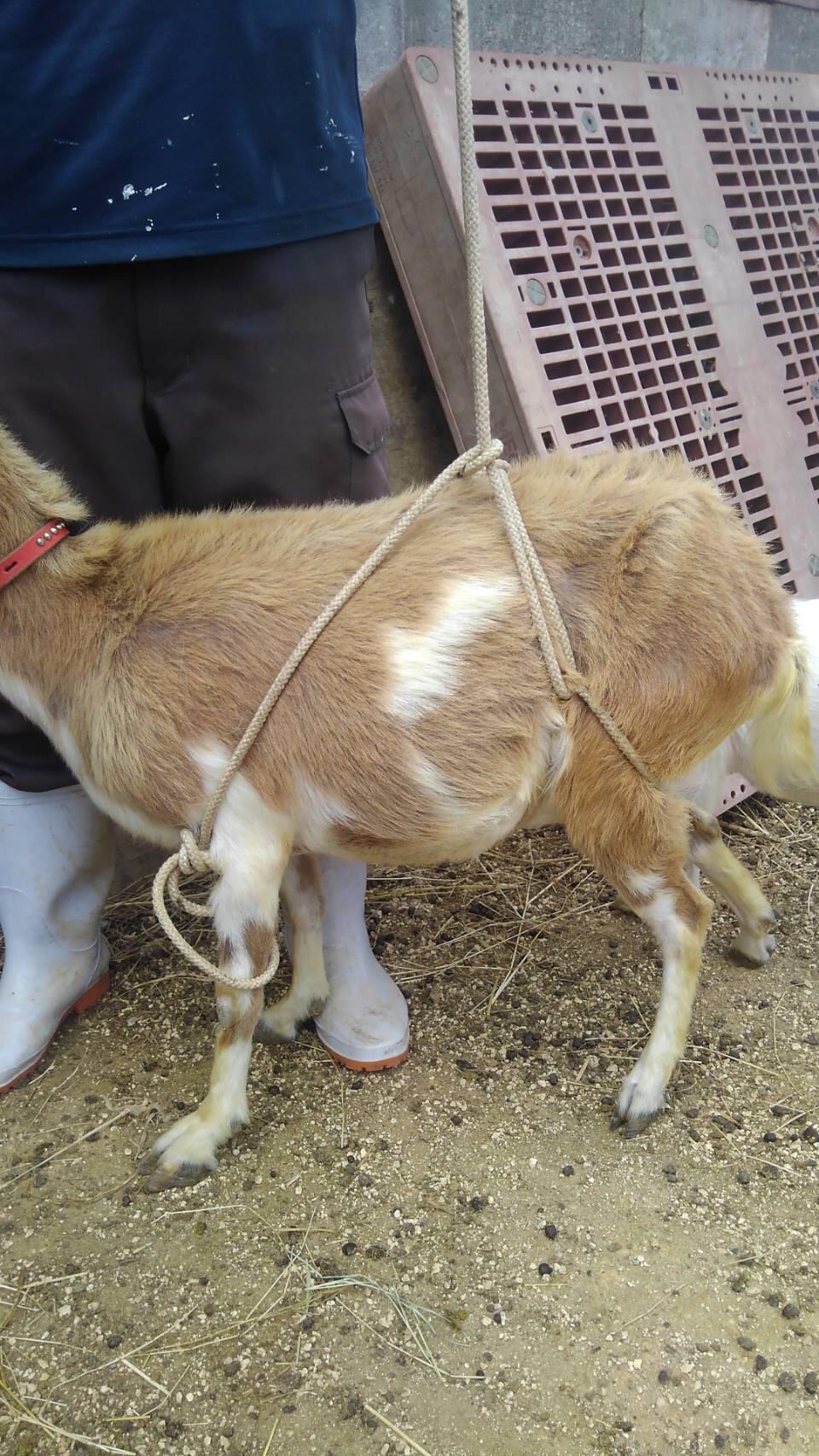 山羊ロープワークの練習