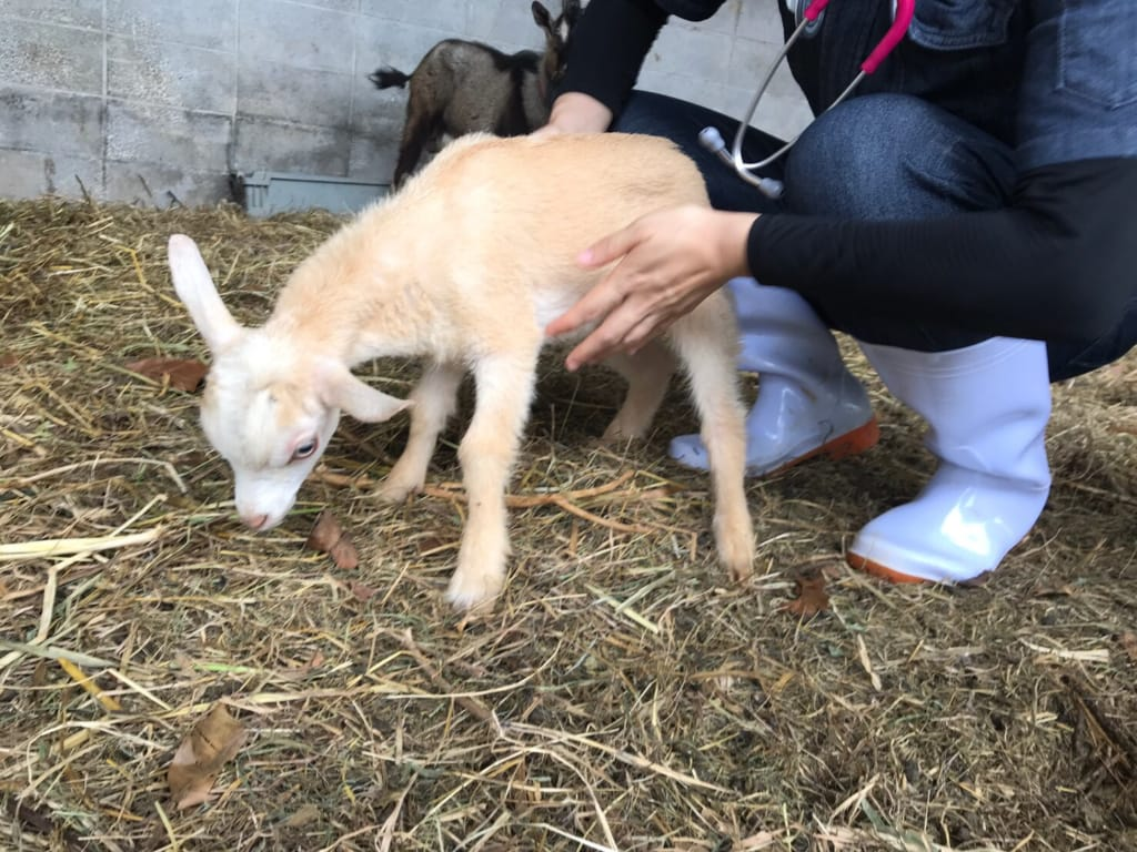 斜頸の症状がある子山羊