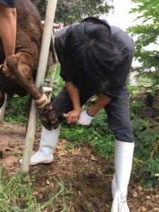 牛の足の痛いところを鎌で切る