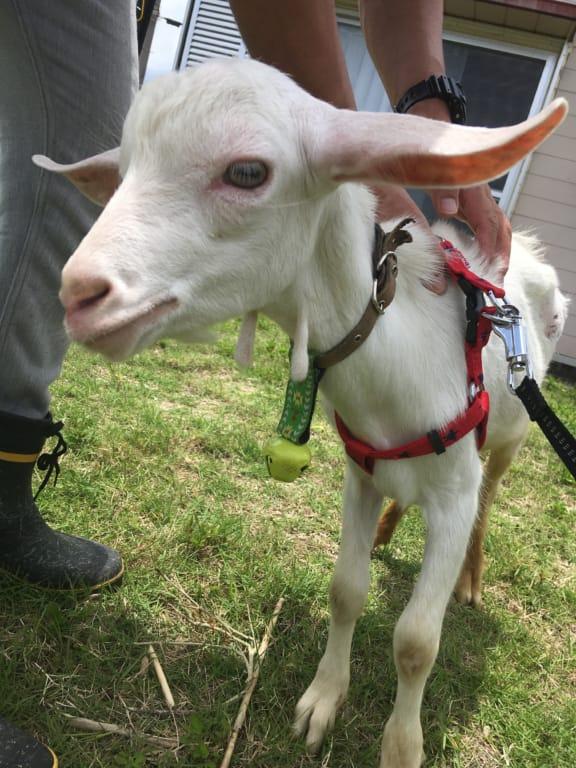 犬による咬傷から回復したヤギ