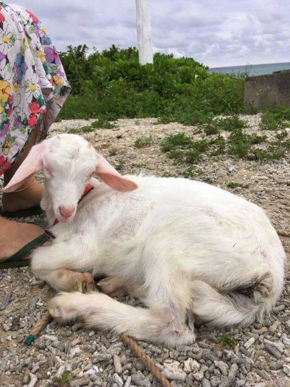 下痢をする山羊