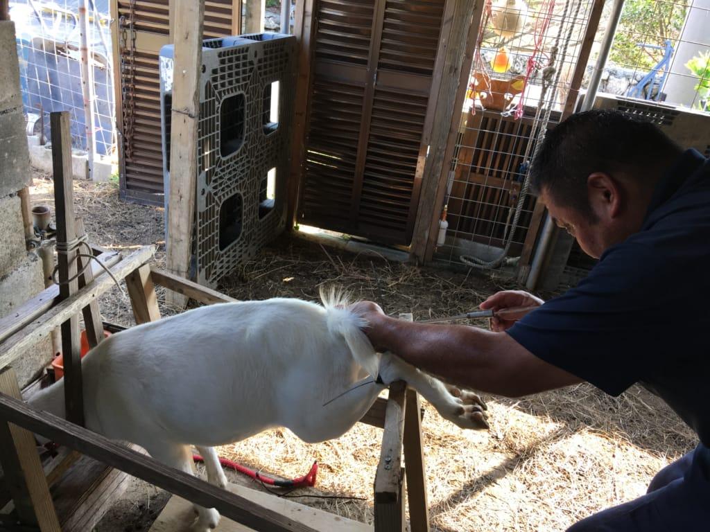 ヤギに人工授精を行う