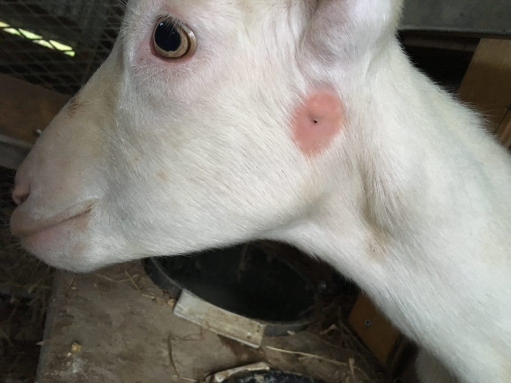 腫瘍が治ってきたヤギ