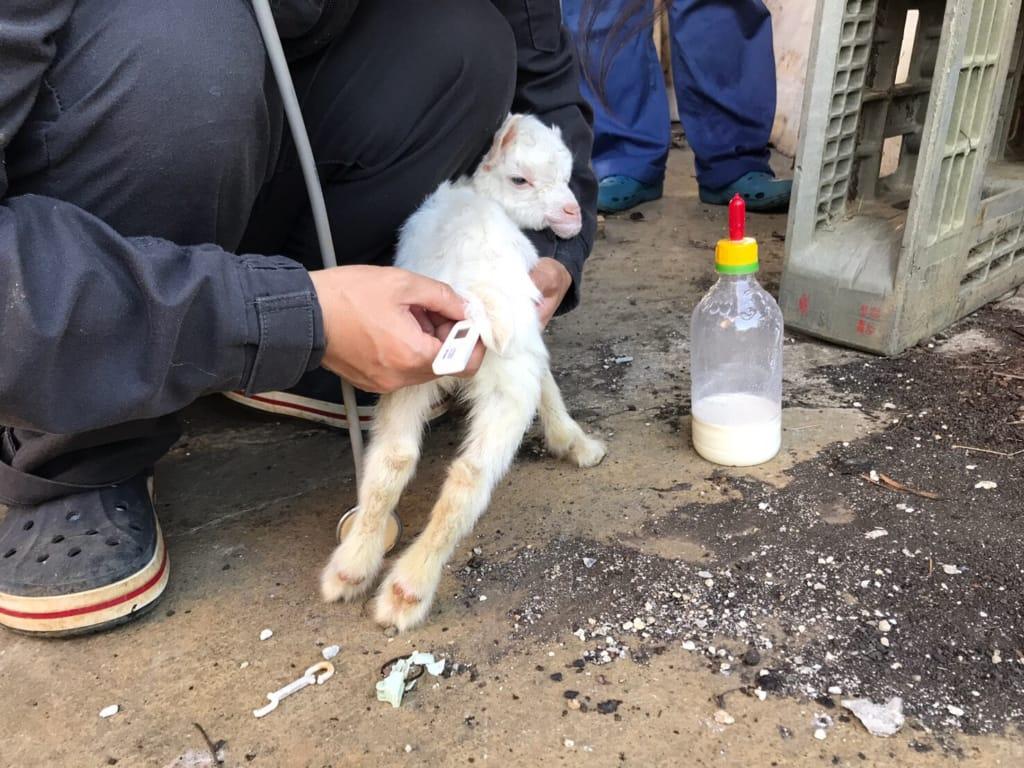 低体温の検査を受ける子ヤギ