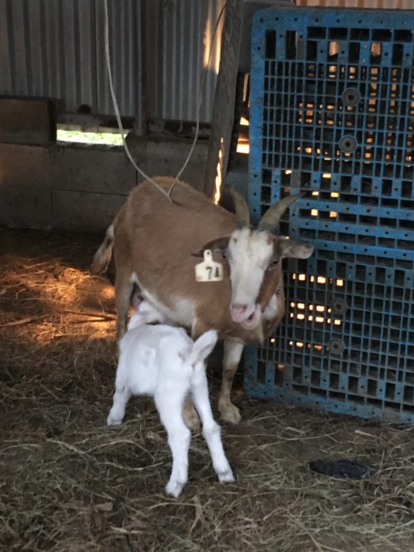 乳をやる母ヤギ