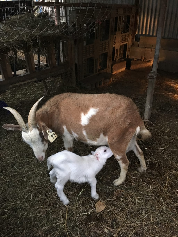 子山羊に乳を与える母ヤギ