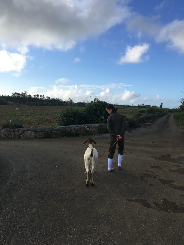 散歩をする山羊