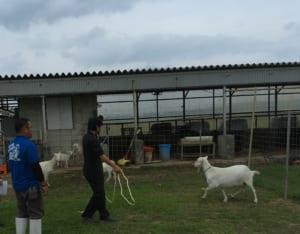 山羊を追い込んで捕まえる実習風景