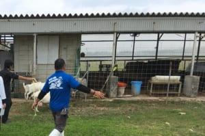 山羊を追い込む練習