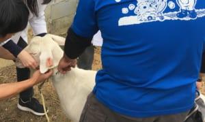 ヤギ診療のための保定法・ロープワークの実習風景